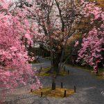 京都の桜 おすすめの穴場撮影スポット 北区編③ 正伝寺・常照寺・大宮交通公園