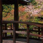 京都の桜 おすすめの穴場撮影スポット 北区編② 等持院・椿寺・原谷弁財天