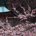 京都の桜 おすすめの穴場撮影スポット 上京区編② 妙蓮寺・雨宝院・本隆寺