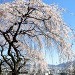 京都の桜 おすすめの穴場撮影スポット 山科区編 岩屋寺・大石神社・勧修寺