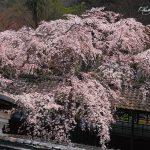 京都の桜 おすすめの穴場撮影スポット 西京区編③ 十輪寺・善峯寺・金蔵寺