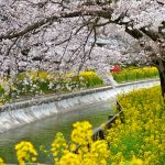 京都の桜 おすすめの穴場撮影スポット 山科区編③ 毘沙門堂・随心院・山科疏水