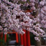 京都の桜 穴場のおすすめ撮影スポット|左京区編④|吉田神社・竹中稲荷神社・宗忠神社