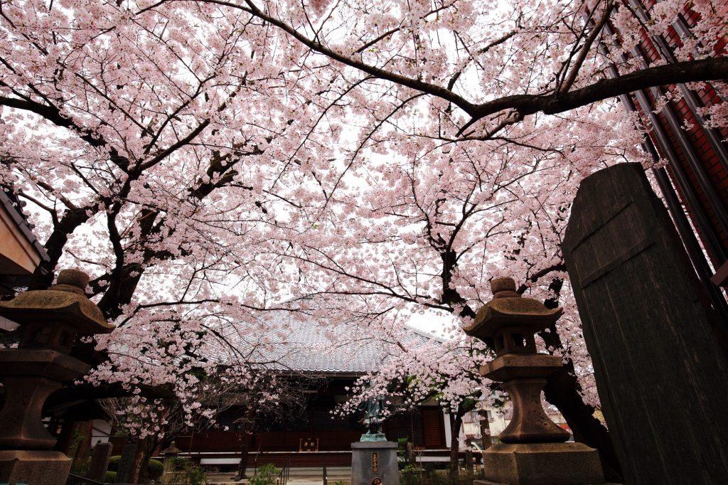 bokusenji-sakura-2016