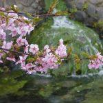 京都の桜 おすすめの穴場撮影スポット 伏見区編③ 御香宮神社・長建寺・淀水路