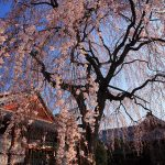 京都の桜 穴場のおすすめ撮影スポット 上京区編⑤ 本満寺・相国寺・有栖館