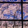 京都の桜 穴場のおすすめ撮影スポット|上京区編④|妙顕寺・白峯神宮・京都府庁旧本館