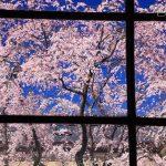 京都の桜 穴場のおすすめ撮影スポット 上京区編④ 妙顕寺・白峯神宮・京都府庁旧本館
