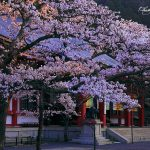 京都の桜 おすすめの穴場撮影スポット|左京区編⑦|鞍馬寺・白龍園・三宅八幡宮