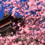 京都の桜 おすすめの穴場撮影スポット 伏見区編② 瑞光寺・藤森神社・伏見桃山城