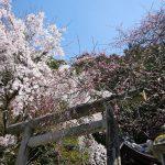 京都の桜 おすすめの穴場撮影スポット 左京区編 満願寺・大豊神社・京都市動物園