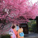 京都の桜 おすすめの穴場撮影スポット 左京区編② 聖護院・知恩寺・長徳寺
