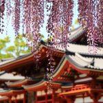 京都の藤の名所でおすすめは?厳選スポットの見頃や見どころ情報!