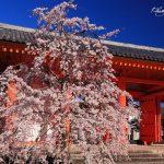 京都の桜 おすすめの穴場撮影スポット 東山区編③ 三十三間堂・養源院・法往寺