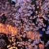 京都の桜 おすすめの穴場撮影スポット|宇治市編|三室戸寺・県神社・宇治市植物園