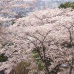 京都の桜 おすすめの穴場撮影スポット|東山区編⑤|建仁寺・護国神社・安井金比羅宮