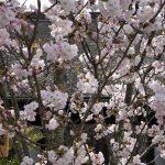 京都の桜 おすすめの穴場撮影スポット 東山区編④ 地主神社・妙見堂・安祥院