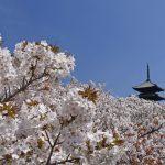 京都 桜の名所|右京区編|仁和寺・龍安寺