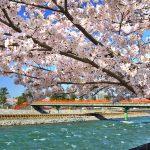 京都のお花見はピクニックで!桜の川沿い名所3選!背割堤・宇治橋・淀水路!