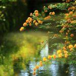 京都で初夏におすすめの花の名所スポット!山吹・石楠花・牡丹・山つつじなら!