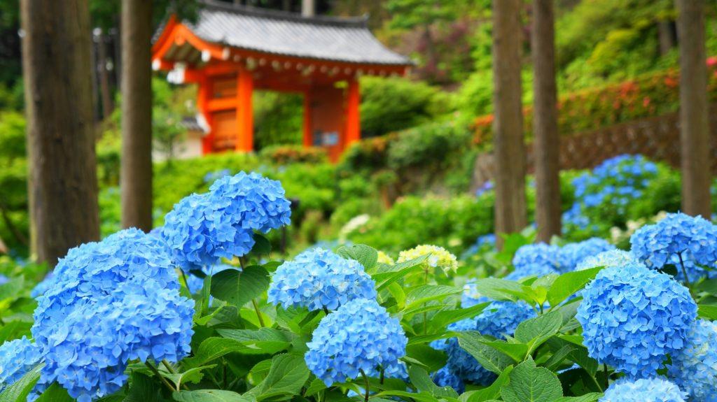 mimurotoji-ajisai-201206-01
